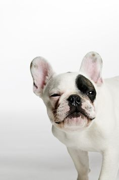 Wink, Wink......do I Know You? Sleepy and Groggy French Bulldog.