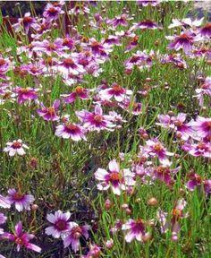 Coréopsis 'Sweet Dreams' Coreopsis rosea