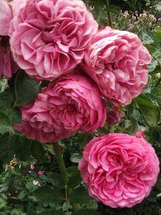 Roses - Tiffany's Things