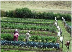 Gravity Drip Bucket Irrigation Systems for Vegetable Gardens Enhance Food Security for the Food Insecure Big Picture Agriculture Homestead Gardens, Farm Gardens, Outdoor Gardens, Veggie Gardens, Permaculture, Drip Irrigation, Irrigation Systems, Rainwater Harvesting, Water Systems