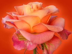 R is for Rose - here is a particularly lovely variety that fades from bright pink to pale apricot.