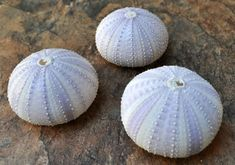 Purple Sea Urchins 3 pcs. by seashellmart on Etsy, $3.75
