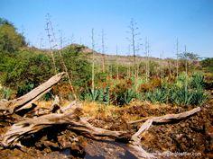 Die Südostküste Maui's ist Halbwüste, da die NIederschläge vom 3.000m hohen Haleakala abgefangen werden.