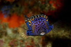 Boxfish (Ostraciidae)