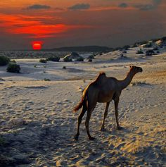 nomadamsterdam:    Somali camel retreats to the dunes as a bright orange equator sun sets over the Indian Ocean off Kenya's northern Swahili Coast.