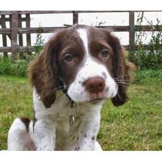 english springer spaniel males pictures | English Springer Spaniel puppies and dogs for sale and adoption ...