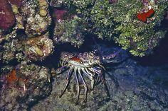 carribean spiny lobster