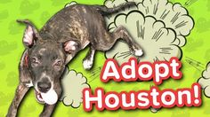 Adopt Houston! // Lab Mix // Adoptable Featurette… #funnypetvideos #funnyanimals