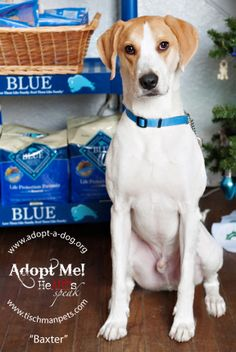 Baxter is our handsome 2 1/2 Year Old Neutered Male Hound Mix who has returned to Adopt-A-Dog due to a hardship with his former owner and search of a new home!  He is a social boy who can live with some other dogs and older children, although cats...