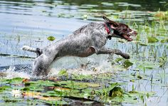 Pointing Dog Blog: Breed of the Week: The Wirehaired Pointing Griffon