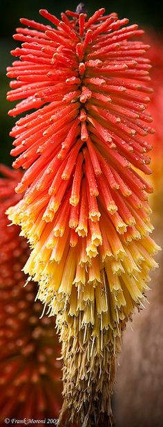 Torch Lilly