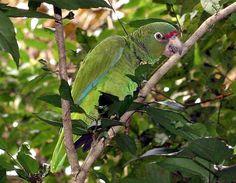 Critically Endangered Puerto Rican Amazon parrot (Cotorra puertorriqueña) [scientific name: Amazona vittata]