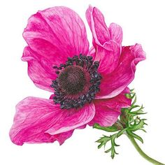 The vibrant pink of this stunning anenome catches your attention, but it's the detailed black centre that really makes it pop!  #instabloom #anenome #pink #painting #watercolour #watercolor #botanicalart #realism #realisticart #watercolorpainting #instaart #flowerstagram #annamasonart