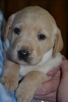 This is Henry, My Yellow Labrador puppy at 27 days old.