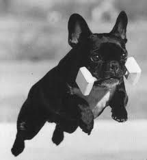 A French Bulldog competing in an obedience class.  how stinking cute