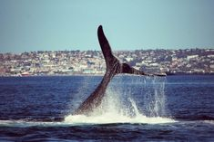 Romonza Boat Trips | Sunset Cruises | Whale Watching in Mossel Bay - Dirty Boots Abseiling, Bungee Jumping, Adventure Activities, Whale Watching, Cruises, Scuba Diving, Mammals, South Africa, Trips