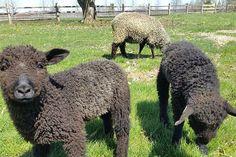 Sheep Farm, Sheep And Lamb, Romney Sheep, Lambs, Prado, Cute Cats, Goats, Kitty, Wool