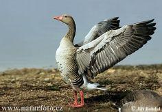 Merihanhi. Greylag goose. Anser anser.