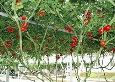 ** 10 GIANT RED TOMATO TREE SEEDS**     Photo  Tree Tomato produces large crimson tomatoes that grow as big as 6 inches across! It has meaty