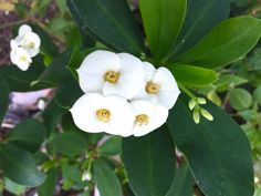White Euphorbia Mili Euphorbia Milii, Garden, Flowers, Plants, Cactus Plants, La Bamba, Lawn And Garden, Florals, Crown Of Thorns Plant