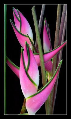 Pink-and-green helaconias