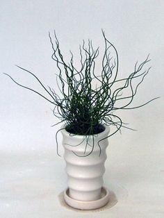 ラセンイの育て方 (自然と暮らす 観葉植物)