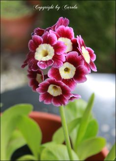 Gorgeous+Auricula...to draw/paint in my art journal sometime