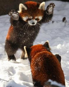 Red Pandas playing in the Snow | Birds and Animals Collection