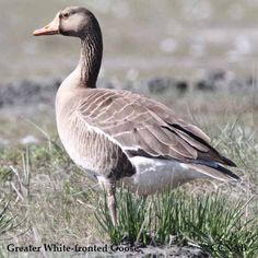A Greater White-fronted Goose feeding along the shore of Esquimalt Lagoon in late September near Victoria on Vancouver Island, British Columbis, Canada. Central America, North America, Northern Canada, Little Critter, Vancouver Island, Bird Watching, Canada Goose, Alaska, Birds