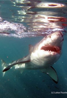 Shark cage diving in Gansbaai, South Africa can provide you with a unique opportunity to witness the wonder of the Great White Shark