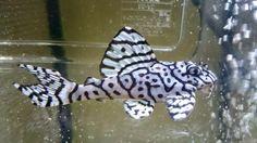 Zebra morph