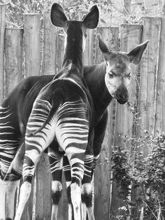 Okapi- the only living relative to the giraffe