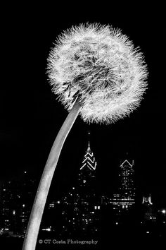 Philadelphia Photo Print, Dandelion, Black  White Art, Photography, Fine Art Print via Etsy