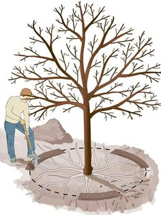 Apfelbaum Wurzeln verjüngen