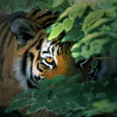 "Tiger: ""In The Undergrowth."""