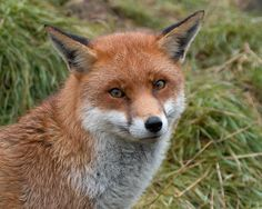 Red Fox by by philpem on deviantART