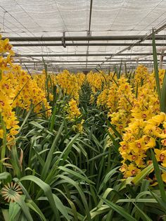 Yellow Cymbidium Orchid | Wholesale Flowers & DIY Wedding Flowers Orchid Flowers, Colorful Flowers, Yellow Orchid, Cymbidium Orchids, Diy Wedding Flowers, Different Colors, Floral Design, Around The Worlds, Palette