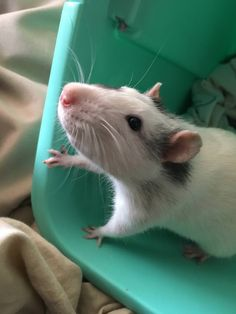 """Saw him alone in a 5 gallon tank labeled """"FEEDER"""". There's no way this little face was meant to be snake food. I love him with my whole heart already :) #aww #cute #rat #cuterats #ratsofpinterest #cuddle #fluffy #animals #pets #bestfriend #ittssofluffy #boopthesnoot"""