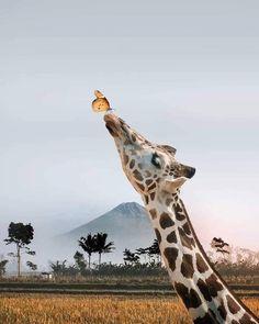Butterfly and giraffe Cute Creatures, Beautiful Creatures, Animals Beautiful, Cute Baby Animals, Animals And Pets, Funny Animals, Giraffe Art, Cute Giraffe, Giraffe Pictures