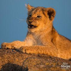 Moments in the @alexmacipephoto #TriptoAfrica! #Lions in #Serengueti National Park #Tanzania.  Tags: #africa #african #africans #lion #natgeo #travel #nature #photo #streetphotography #savana #africana #animals #animales #lion #voyage #viagem #tourist #traveler #picoftheday #ig_africa #afrika #viaje #viajar #instagram #instasize #travelporn @natgeo by alexmacipephoto @enthuseafrika