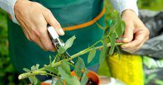 Die Veredlung von Rosen ist eine Vermehrungsmethode, die meist den Profis vorbehalten bleibt. Viele Rosen lassen sich aber auch ganz einfach durch Stecklinge vermehren. Der Arbeitsaufwand ist gering und einen Versuch wert.