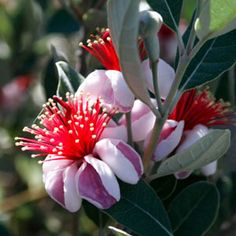 Best Flowers and Plants for Your Garden Feijoa sellowiana Pineapple Guava Myrtaceae Evergreen, Edible fruit, Shrubs, Trees Pineapple Guava, Guava Fruit, Guava Plant, Diy Greenhouse, Drought Tolerant Plants, Garden Trees, Amazing Flowers, Shrubs, Vibrant Colors