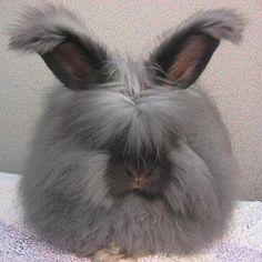 ангорский кролик-самый пушистый кролик