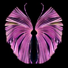 byeblos:  expression[Pink Butterfuly, Cara Barer, 2011]