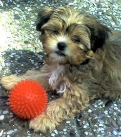 Shi-Tzu - Chihuahua Bonny  Da war es sooo schön warm!       Mehr lesen: http://d2l.in/5d  dogs2love - Gassi gehen zum Verlieben. Partnerbörse für alle, die Hunde lieben.  Bild, Dating, Foto, Hund, Partner, Rasse, Single