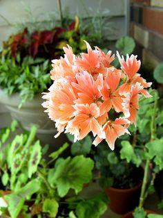 citronella scented geranium