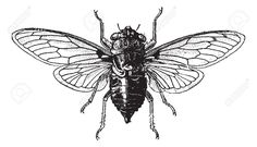 Fig 14. Cicada, Vintage Engraved Illustration. Cicada Isolated.. Royalty Free Cliparts, Vectors, And Stock Illustration. Pic 13766643.