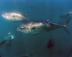 Threatened by overfishing. A report from October found that eastern Atlantic bluefin is traded at twice the amount catch quotas actually allow. In August, it was reported that Mitsubishi executives planned to buy up tons of bluefin and freeze it to profit from impending population collapses.