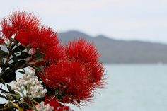 Pohutukawa and Rangitoto Island - taken on the beach at Mission Bay, Auckland, New Zealand Long White Cloud, New Zealand Landscape, Nz Art, Kiwiana, Where The Heart Is, Auckland, Australia Travel, Mother Nature, Flower Power