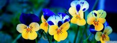 johnny jump ups | flowers pansies johnny jump up facebook cover